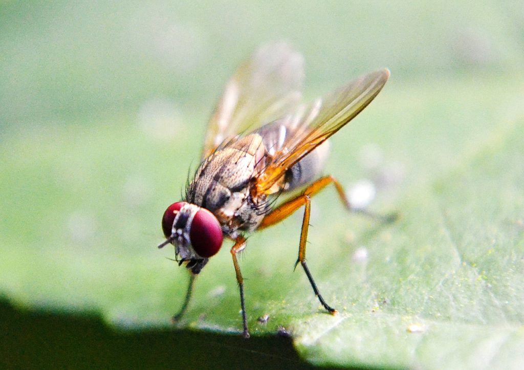fruit-fly-219392_1280